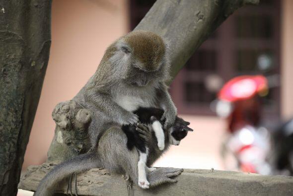 Esta macaco ha cuidado al felino prácticamente desde su nacimiento.