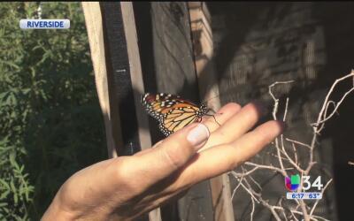 Activistas de Riverside ayudan a la conservación de la mariposa monarca