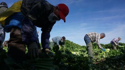 Campesinos mexicanos en un campo de apio en Brawley, California.