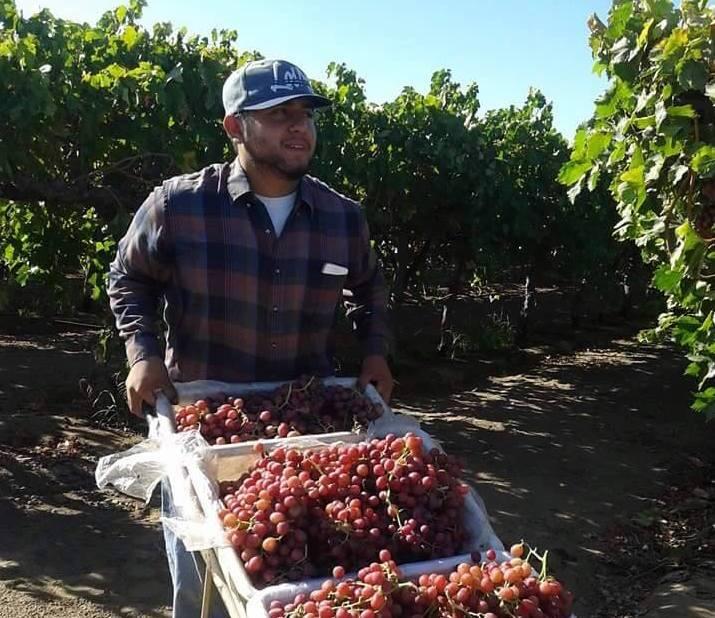 La cosecha de uva en Napa Valley.