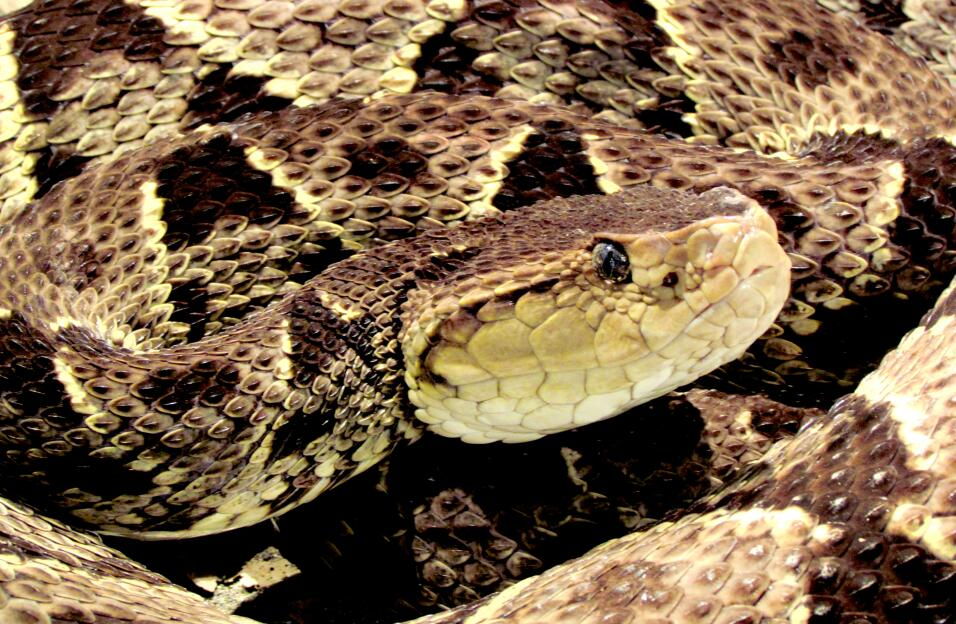 La inusual apuesta de Florida por salvar a la serpiente más larga de EEU...