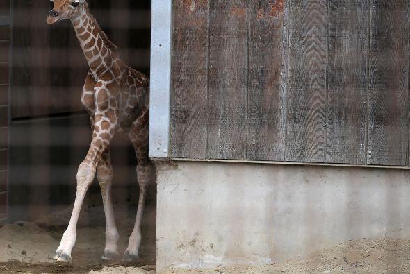 Los bebés jirafa son capaces de ponerse en pie sólo 30 minutos después d...