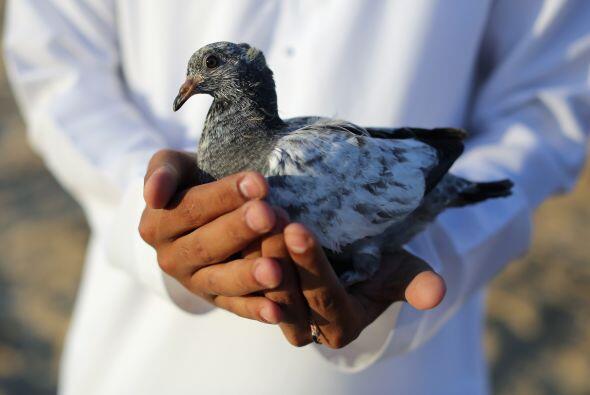 Las palomas tienen una memoria increíble que les permite reconoce...