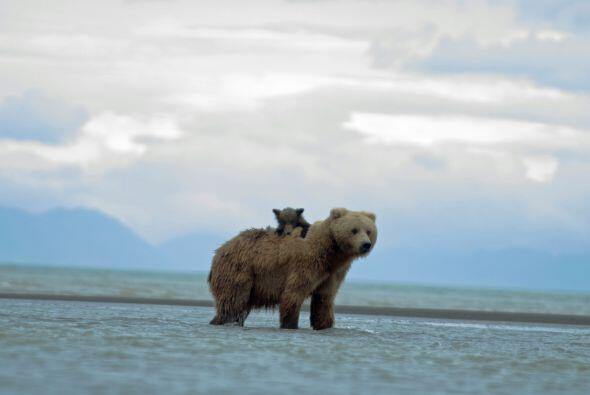 Con toda la paciencia del mundo, la mamá oso lo llevo con ella.