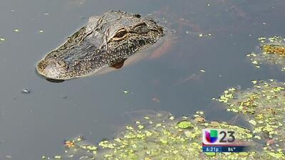 Buscan cocodrilo que atacó a dos personas en Coral Gables