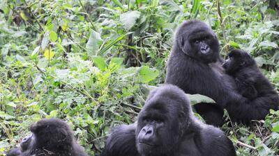 Más tierras para proteger a los gorilas de montaña, en peligro crítico de extinción