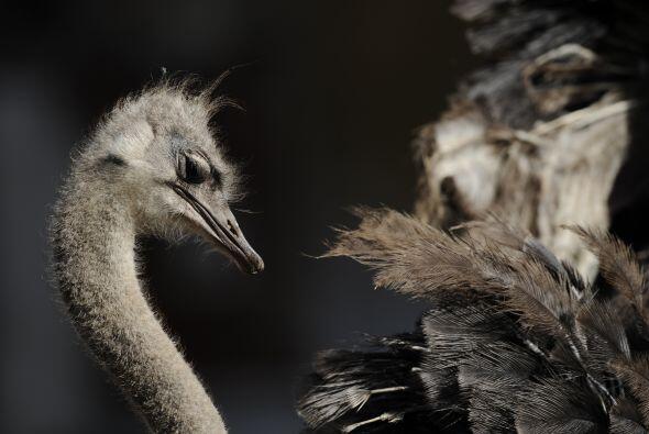 Un avestruz intenta mirarse en el Centro Zoológico de Amberes.