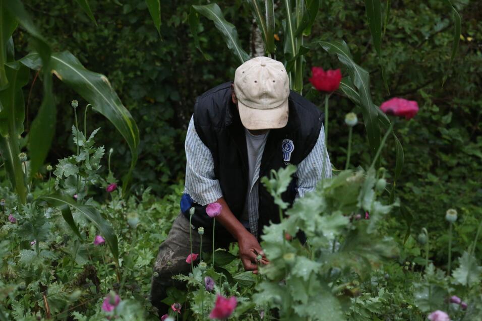 Para habitantes de la sierra mexicana, sembrar amapola para extraer opio...