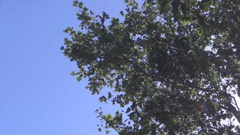 Los árboles de Sacramento también son afectados por las temperaturas ext...