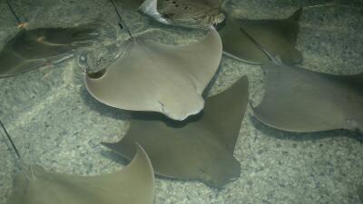 Imágenes de la exhibición Stingray Bay Habitat que por ahora ha sido sus...