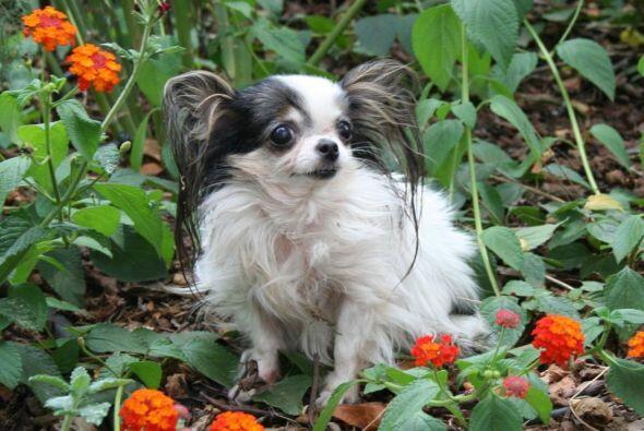 Boo Boo La perrita viva más pequeña del mundo es una chihuahua que mide...