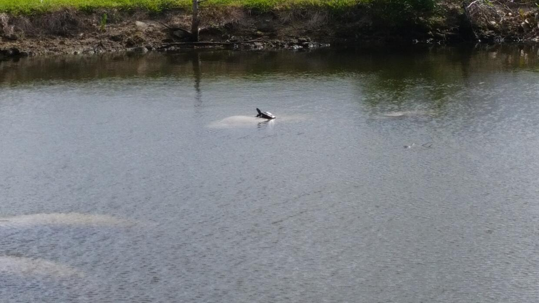 Avistan grupo de manatís en el Little River