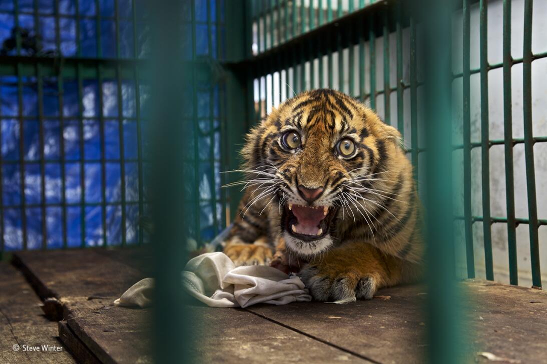 Rescatado pero enjaulado. A este cachorro de tigre hubo que amputarle la...