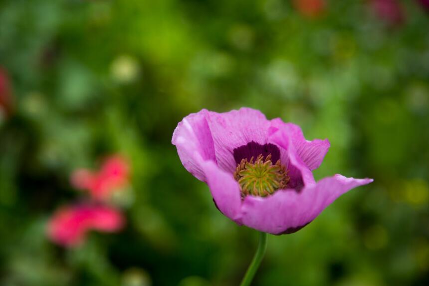 Pese a los perjuicios que provoca su cultivo, la flor de la amapola sigu...