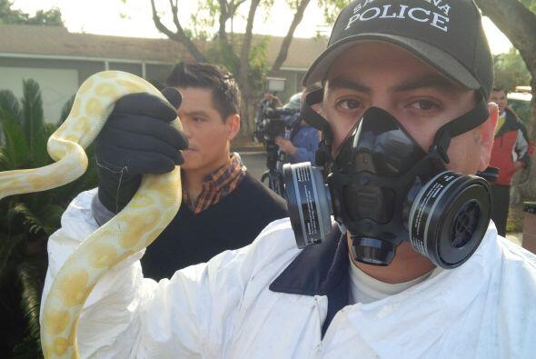 Policía de Santa Ana encontró 400 serpientes de las especi...
