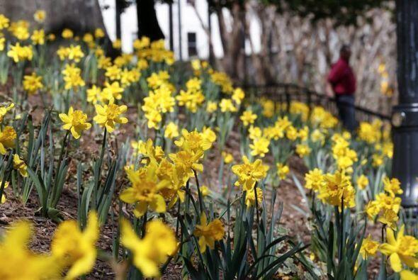 Más de 20,000 narcisos recientemente plantados en el parque Woodr...