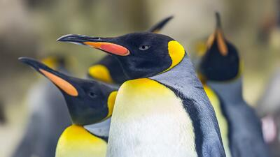 En fotos: El calentamiento global pone en jaque al pingüino rey