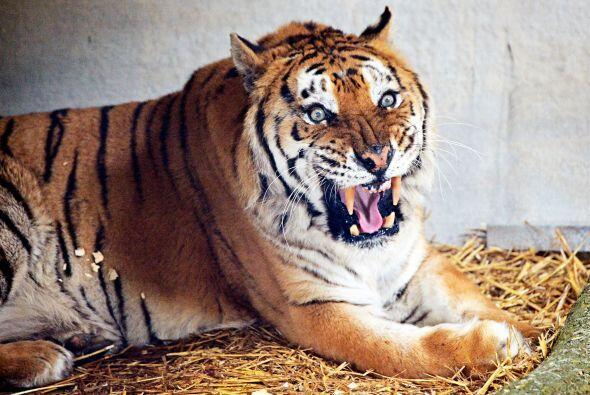 Tango era uno de los muchos tigres utilizados para la televisión, en la...