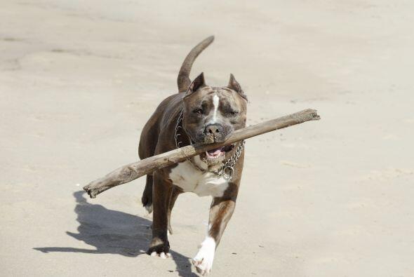 La inteligencia de los Pit bull les permite ser obedientes y desarrollar...