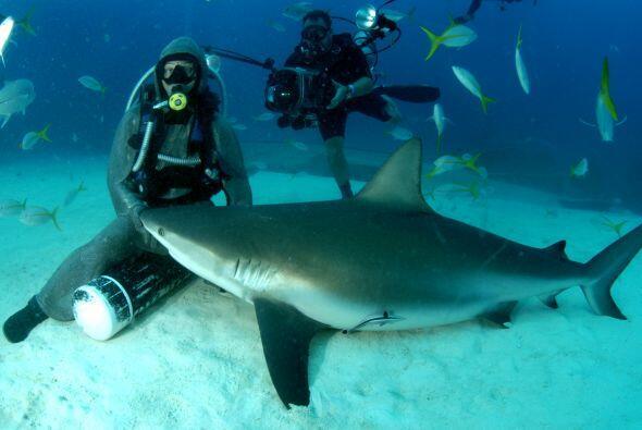 La italiana experta en tiburones Cristina Zenato trata a los tiburones c...