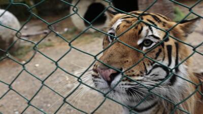 Imagen tomada el 29 de mayo de 2015 donde aparece el tigre Ankor.