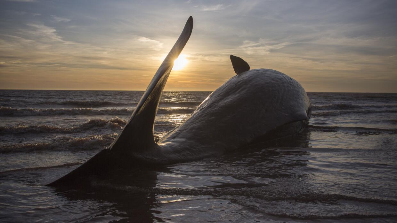 Ballenas varadas en Inglaterra.