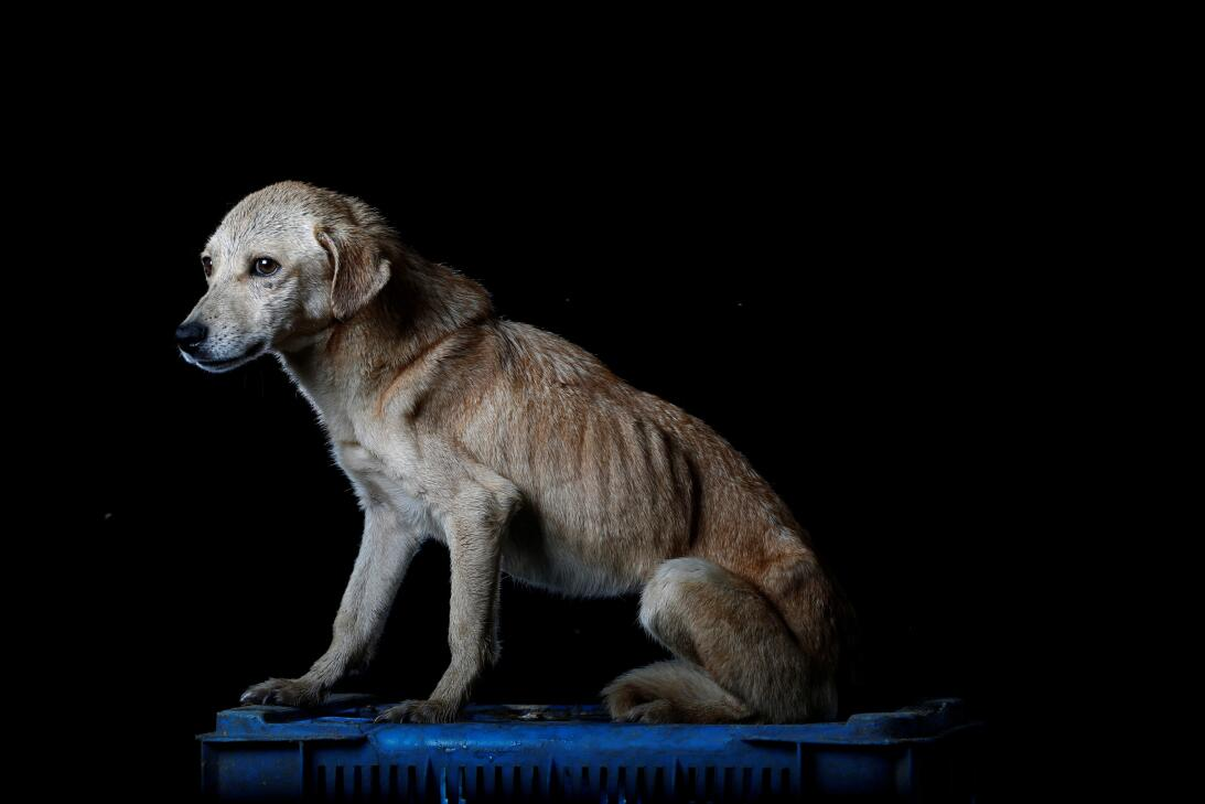 Mia is pictured at the Famproa dogs shelter in Los Teques, Venezuela Aug...