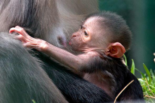 Este extraño mamífero vive en largos grupos de más de 25 individuos.