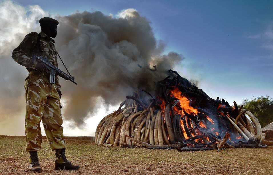 En promedio, 30,000 elefantes son cazados ilegalmente cada año en África...