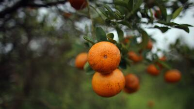 Siembra naranjas Florida