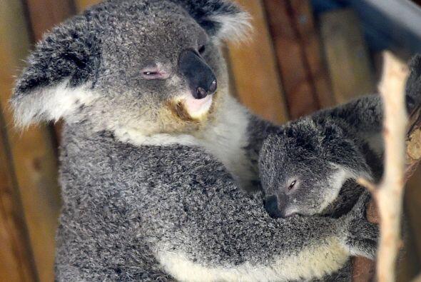 ¡Canguros y koalas están emergiendo!