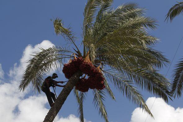 Un agricultor palestino trepó una palmera emblemática en J...