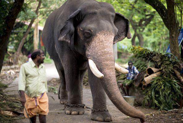 Este santuario es reconocido  por tener una escuela de elefantes que se...