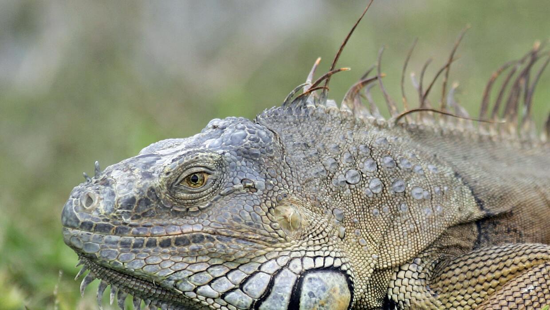 Las iguanas son herbívoras (comen plantas) y generalmente no son...
