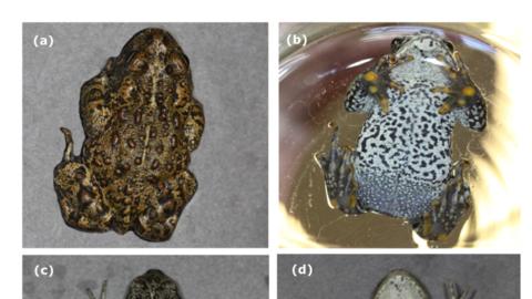 Estas son los anfibios recién descubiertos. Miden aproximadamente...