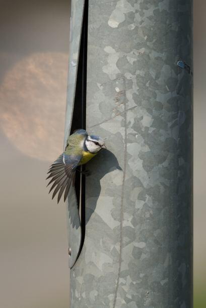 Ojalá su nuevo nido quede listo pronto y los vecinos no estén molestos.