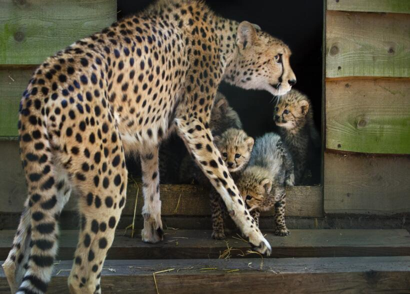 Mamá lince y sus hijos