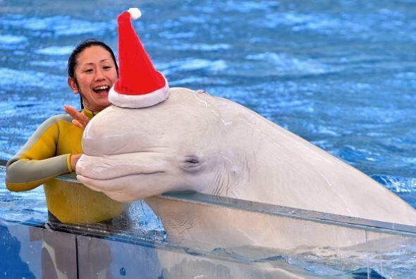 Esta beluga blanca sorprendió al público al dejarse poner el gorrito de...