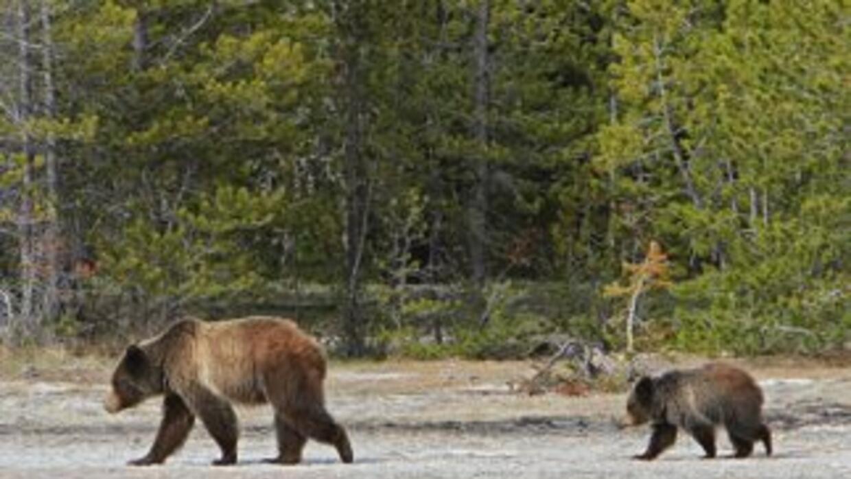 Madre grizzly y su cría en Yellowstone (Foto: NPS Jim Peaco)