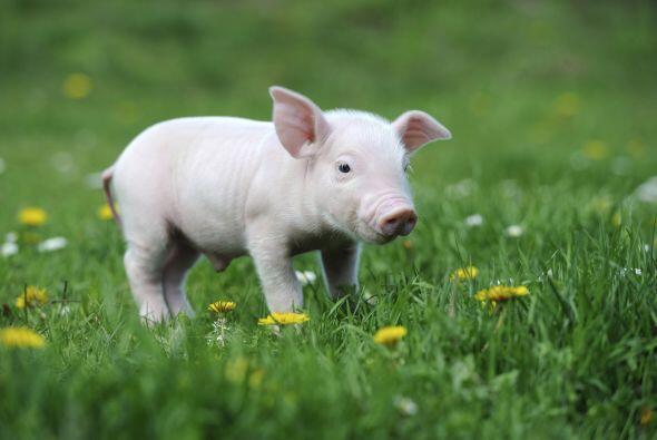 Los 'Mini Pigs' se han vuelto tendencia en el mundo y ahora son las masc...