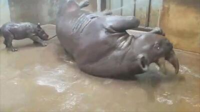 Si tuviste un largo día, esperamos que estos rinocerontes te hagan sonreír