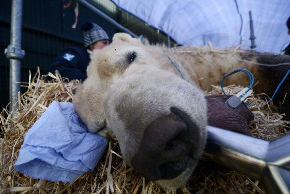 Los miembros del Highland Wildlife Park en Kingussie, Escocia, estaban p...