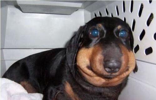 Que dolor. Pobrecitos!Parece que este perrito se comió muchas avejas! Fo...