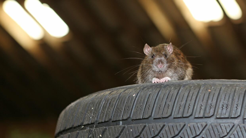 Cómo evitar que los roedores destruyan tu carro