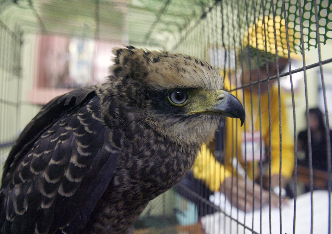 A serpent eagle sits inside its cage at Manila's police district Aug...