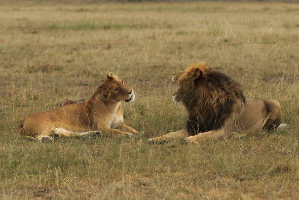 La pelea entre el león y la leona demuestra que los seres humanos no son...