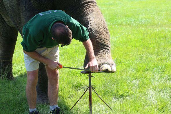 El encargado del zoológico sabe que al darles 'pedicure' a sus elefantes...