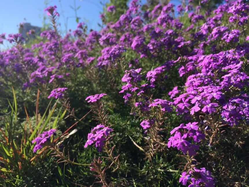 Las flores silvestres más exóticas de Texas IMG_1390.jpg