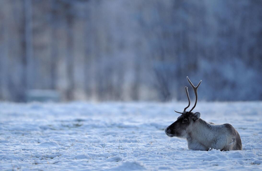 Qué dice la ciencia sobre la nariz roja del reno Rodolfo GettyImages-837...