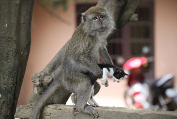 Como todos los monos, juega y come bananas; la única diferencia e...